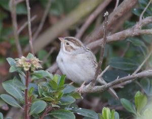 sparrow-clay-colored900