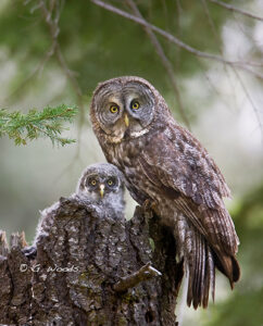 Great Gray Owl by Gary Woods