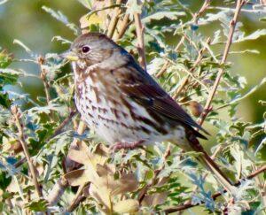 Red Fox Sparrow by George Folsom