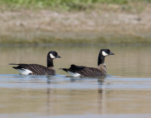 goose-cackling0130