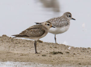 American Golden-Plover by Gary Woods