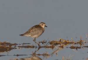 Pacific Golden-Plover by Gary Woods