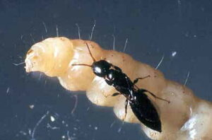 The parasitic wasp Goniozus legneri and its prey the naval orangeworm larva