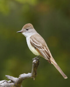 Ash=throated Flycatcher