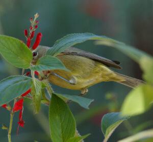 Orange-crowned Warbler sordida with diagnostic dusky streaking
