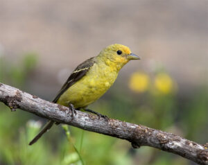 Western Tanager (female) by Gary Woods