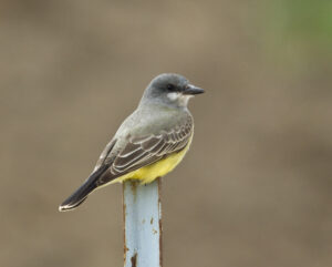 Cassin's Kingbird by Gary Woods