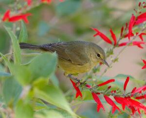 """""""Dusky"""" Orange-crowned Warbler"""