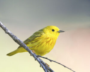 Yellow Warbler by Gary Woods