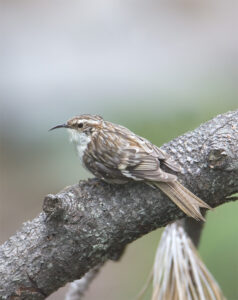 Brown Creeper by Gary Woods