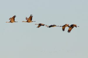 Sandhill Cranes by Judy Johnson