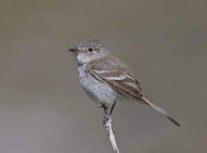 Gray Flycatcher by Gary Woods