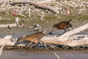 Virginia Rail by Clayton Dalton