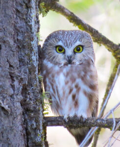 Northern Saw-whet Owl by Micki Beston