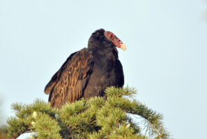 Turkey Vulture by Patti Cline