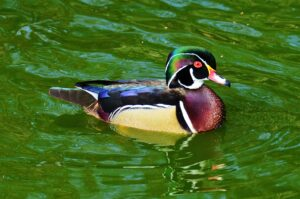 Wood Duck by Brian Johnson