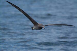 Black-footed Albatross, Monterey Bay, by Mark Haywood
