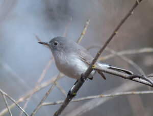 Blue-gray Gnatcatcher by Larry Cusick