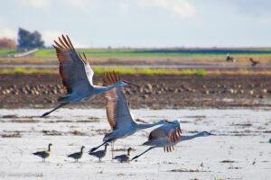 Sandhill Cranes, near Lodi, by Nancy Gilmore