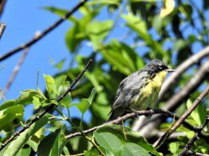 Kirtland's Warbler by Lynn Hemink