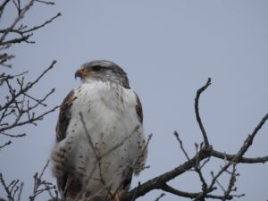 Ferruginous Hawk by Lynn Hemink