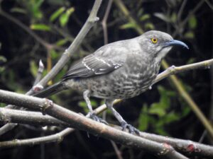 Curve-billed Thrasher by Lynn Hemink