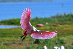 Roseate Spoonbill by Brian Johnson