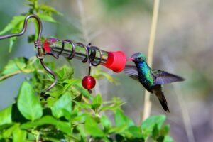 Broad-billed Hummingbird by Brian Johnson