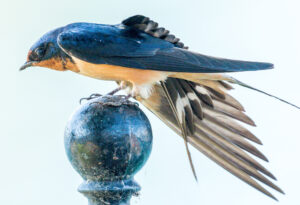 Barn Swallow by Clayton Dahlen