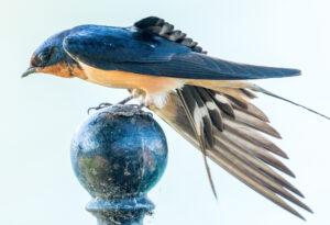 Barn Swallow by Clayton Dahlen