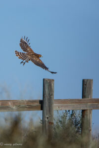 Red-shouldered Hawk, Merced NWR, by Nancy Gilmore