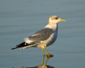 Mew Gull, Cayucos, by Mark Haywood