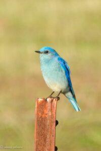 Mountain Bluebird, Dry Creek Reservoir, by Nancy Gilmore