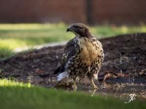 Red-tailed Hawk, Fresno Pacific University, by Jeremy Neipp