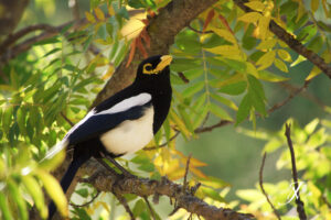 Yellow-billed Magpie, Basalt Campground, by Jeremy Neipp