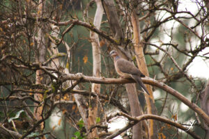 Spotted Dove, Huntington District, Fresno, by Jeremy Neipp
