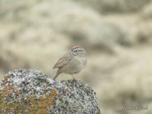 Rufous-crowned Sparrow, Millerton Lake, by Rachel Simmons-Clark