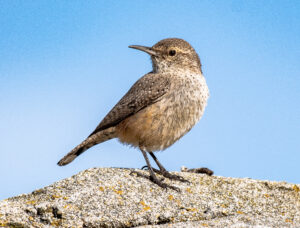 Rock Wren by Larry Cusick