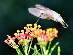 Costa's Hummingbird by Cecelia Sheeter