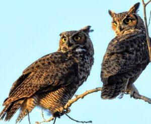 Great-horned Owls by Cecelia Sheeter