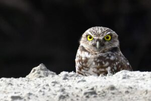 Burrowing Owl by Cecelia Sheeter