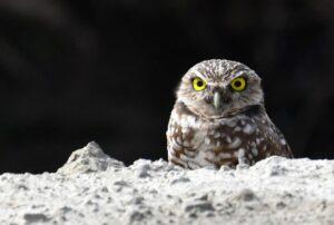 Burrowing Owl by Cecelia Sheeter