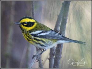townsends-warbler-2