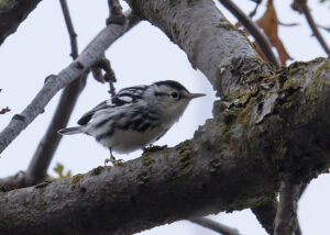 Black and White Warbler by Gary Woods