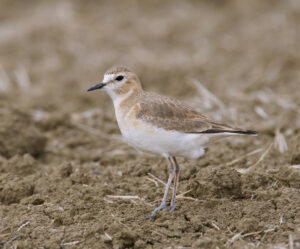 Mountain Plover by Gary Woods