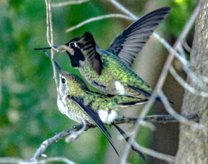 Anna's Hummingbirds mating by Larry Cusick