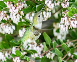 Female Anna's Hummingbird feeding by Larry Cusick