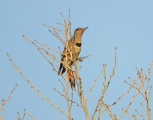 Northern Flicker by Nina Jones
