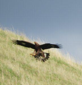 Golden Eagle by Nina Jones