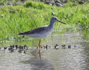 Greater Yellowlegs by Nina Jones